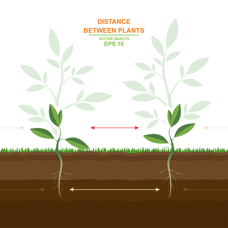 Vector illustration of proper planting. Spacing between plants. Planting distances guide. Optimal distance planting. Distance between plants. Helpful information