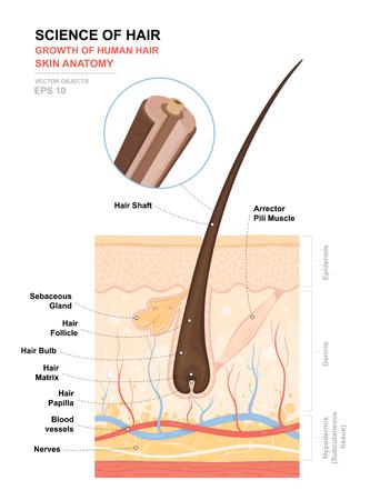 Cartel de entrenamiento anatómico. Crecimiento y estructura del cabello humano. Anatomía de la piel y el cabello. Sección transversal de las capas de la piel. Ilustración detallada del vector médico.