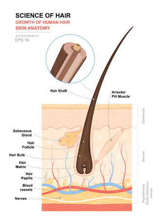 Anatomical training poster. Growth and structure of human hair. Skin and hair anatomy. Cross section of the skin layers. Detailed medical vector illustration.