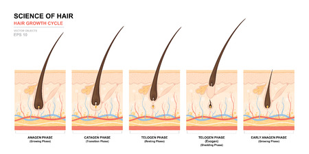 Poster di allenamento anatomico. Fase di crescita dei capelli passo dopo passo. Fasi del ciclo di crescita dei capelli. Anagen, telogen, catagen. Anatomia della pelle. Sezione trasversale degli strati della pelle. Illustrazione medica di vettore Archivio Fotografico - 91057023