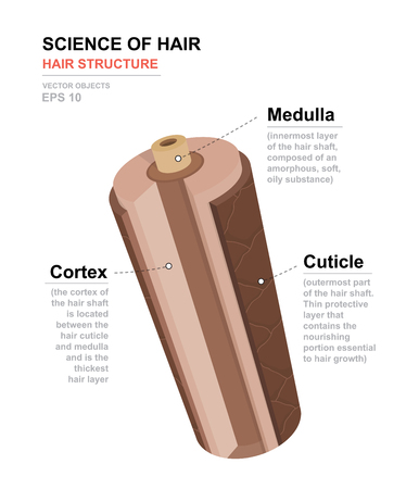 Science of hair. Anatomical training poster. Hair structure. Detailed medical vector illustration. Иллюстрация