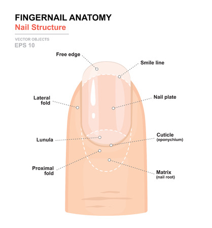 Fingernail Anatomy. Structure of human nail. Science of human body. Anatomical training poster. Detailed medical vector illustration Ilustração