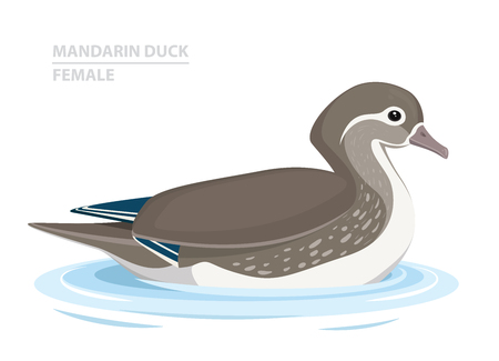 Mandarin Duck swim in the water. Female. Asian Bird. Vector Illustration