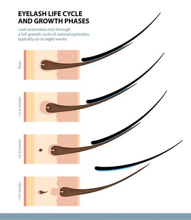 Eyelash Life Cycle and Growth Phases. How Long Do Eyelash Extensions Stay On. Macro Side View. Guide. Infographic Vector Illustration