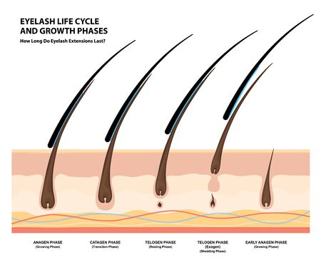 Eyelash Life Cycle and Growth Phases. How Long Do Eyelash Extensions Stay On. Macro, Selective Focus. Guide. Infographic Vector Illustration Vector Illustratie