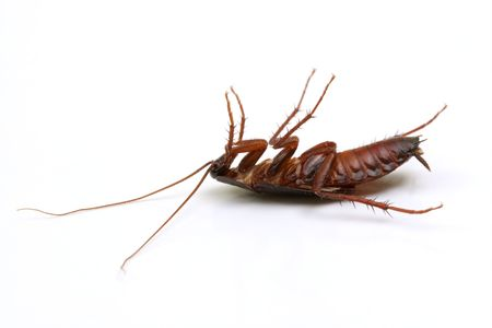 scavenging: Dead cockroach on white background