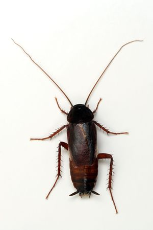 scavenging: Cockroach on white background