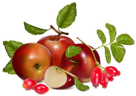 dog rose: Vector illustration.  Red ripe apples and rose hip (dog rose hips). Illustration