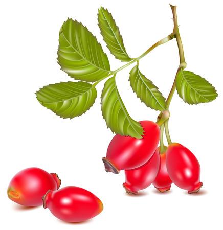 dog rose: Vector illustration.  Red rose hip.