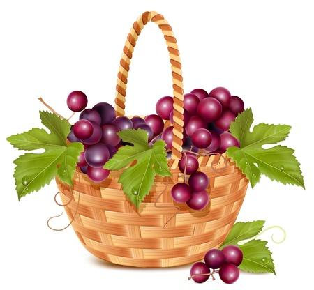 mimbre: Vector. Hay un montón de uva fresca en la cesta.