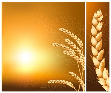 cultivo de trigo: Vector. Espigas de trigo en el fondo del sol naciente.