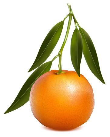 mandarin orange: Vector tangerine (mandarin) with leaves. Illustration