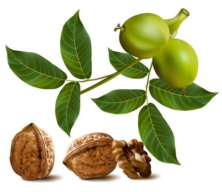 Vector. Beloetsji walnoten met bladeren en tak van groene walnoot
