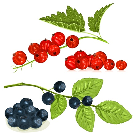 Red currants and blueberries with leaves. vector illustration