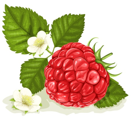 raspberries: Vector illustration of raspberry with leaves and flowers.