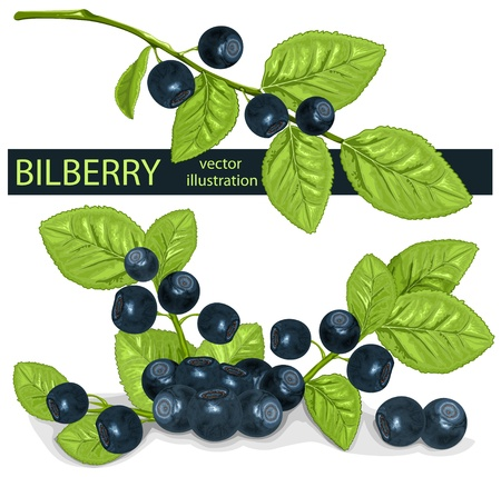 Vector. Bilberries (blueberries) with leaves.