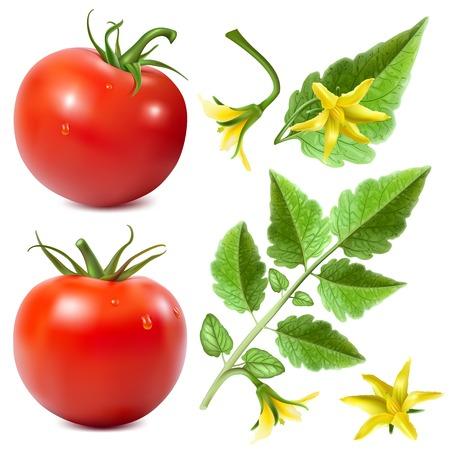 jitomates: Tomates maduros rojos. Vectores