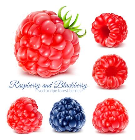 Raspberries and blackberry. Illustration