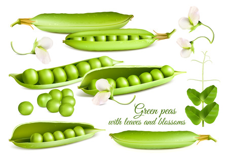 Collection of vector illustrations of green peas: pod green peas, open peas, peas blossoms and leaves. Vector illustration.