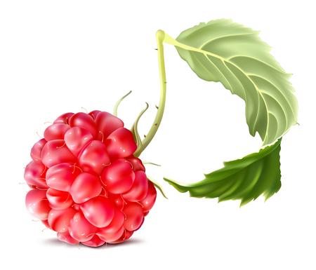 fully: Raspberry. Fully editable handmade mesh. Vector illustration.
