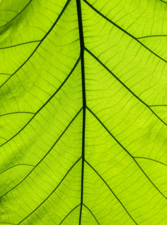 Leaf texture with sunny