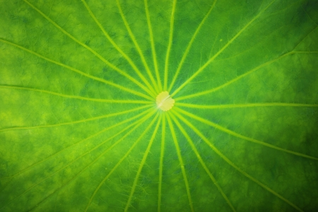 Lotus leaf surface,Lotus leaf texture Stock Photo