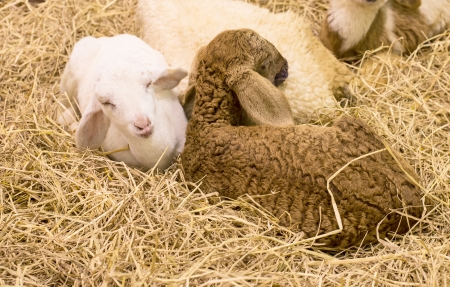 Sheep sleep on straw