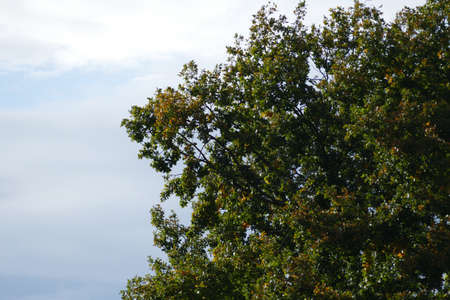 Part of the crown of an oak tree in front of a blue-gray sky with clouds, the leaves already have a yellowish autumn coloring