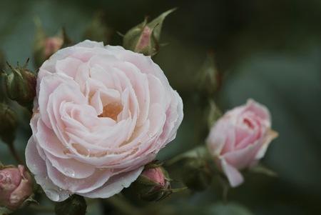 een oude roos blijft een mooie roos Stockfoto