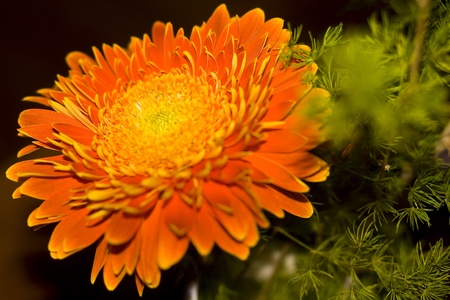 Flame-color herbera with orange and golden petals and grean leaves on dark background