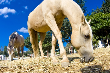 Two beautiful horses grazing on the dry grass in the countryside (focus on the eye). Stock Photo