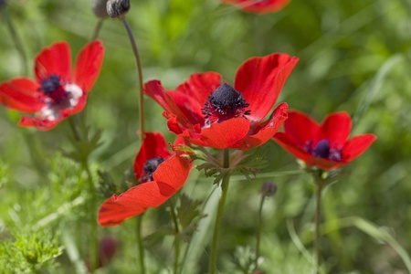 Beautiful red anemones in the green grass  photo