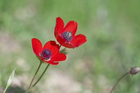 A pair of beautiful red anemones on green misty background  Stock Photo