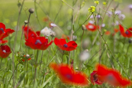 Amazing spring meadow with red flowers  Stock Photo