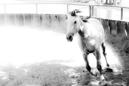 A black and white picture of a horse running down the arena during a training  motion blur, film effect   photo