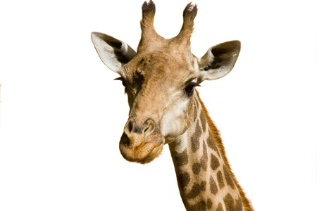 A portrait of a giraffe isolated over white background