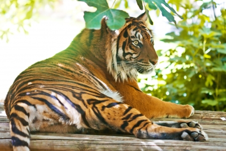 Asian tiger lying on a platform among the leaves  photo