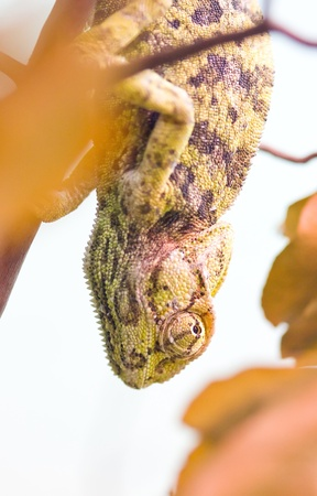 Panther chameleon turned yellow hanging upside down  focus on the eye   photo