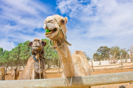 Funny camels trying to reach to the fresh salad leaves photo