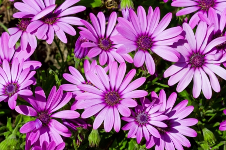 Summer meadow with violet daisies blossoming Stock Photo - 16098324