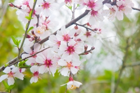 Closeup on a branch of almond tree blossoming in spring photo