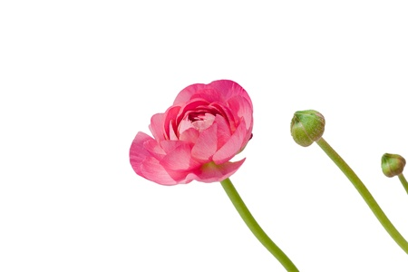 Pink peony flower bud isolated over white background