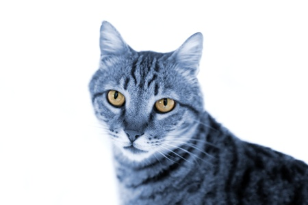 Portrait of blue-gray striped cat isolated on white photo