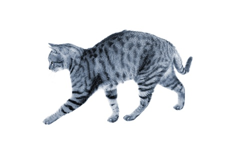 Silver blue striped cat practicing hunting walk (isolated over white) photo