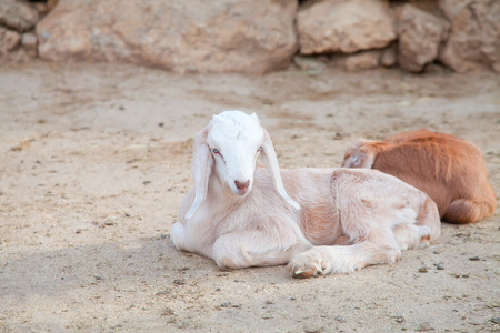 White goatling lying on the ground in natural environment Stock Photo