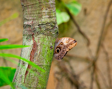 Closeup on an Emperor Butterfly clinging to the tree photo