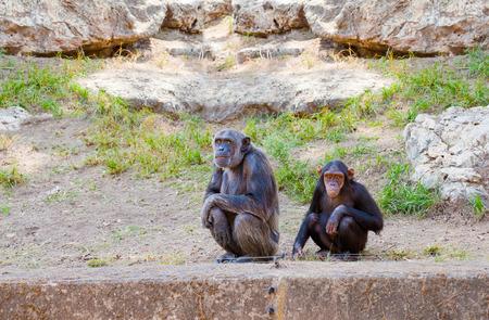 chimpances: Pareja de chimpanc�s sentados y mirando