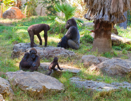 Family life of gorillas in natural environment at sunset Stockfoto