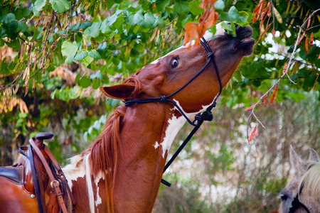 skewbald: Saddled skewbald horse eating leaves from a tree craning its neck Stock Photo