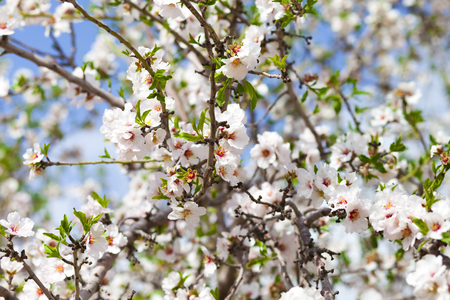 Mass of almond branches covered in white floweres and first leaves